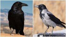 Общество: Как ворону отличить от ворона: 9 особенностей между пернатыми